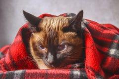 暹罗泰国猫在有一个软的玩具的格子花呢披肩被包裹 秋天,冬天的概念,冷 等待的热化,热 库存照片
