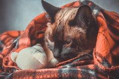 暹罗泰国猫在有一个软的玩具的格子花呢披肩被包裹 秋天,冬天的概念,冷 等待的热化,热 免版税库存图片