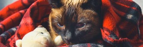 暹罗泰国猫在有一个软的玩具的格子花呢披肩被包裹 秋天,冬天的概念,冷 等待的热化,热 库存图片