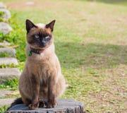 暹罗猫命名了Moon Diamond或深褐色,也称Wichia 免版税库存图片