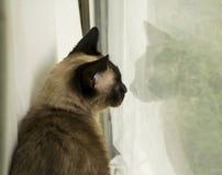 暹罗猫在与反射的窗口里 免版税库存图片