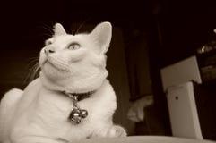 暹罗猫坐床和看窗口,与看鸟的蓝眼睛的白色猫 库存照片