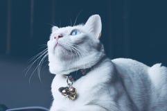 暹罗猫坐床和看窗口,与看鸟的蓝眼睛的白色猫 免版税库存图片