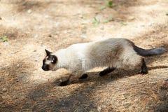 暹罗猫奔跑通过杉木森林 免版税库存图片