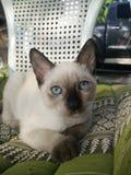 暹罗猫小猫蓝眼睛 免版税图库摄影