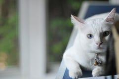 暹罗猫是泰国家猫、非常逗人喜爱和孤独的宠物在房子里,美丽的白色猫和蓝眼睛 免版税图库摄影