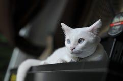 暹罗猫是泰国家猫、非常逗人喜爱和孤独的宠物在房子里,美丽的白色猫和蓝眼睛 库存图片
