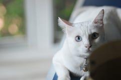 暹罗猫是泰国家猫、非常逗人喜爱和聪明的宠物在房子里,美丽的白色猫和蓝眼睛 图库摄影
