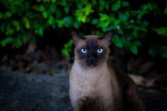 暹罗猫有被弄脏的背景 库存照片