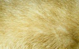 暹罗猫毛皮 免版税图库摄影