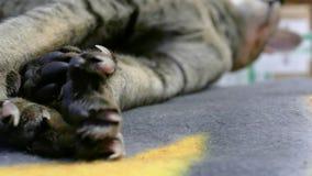 暹罗猫爪子 股票视频
