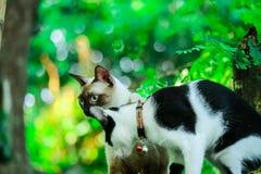 暹罗猫爬树捉住灰鼠 但是它不能clim 免版税库存照片