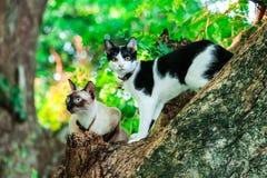 暹罗猫爬树捉住灰鼠 但是它不能clim 库存照片