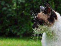 暹罗猫 库存照片