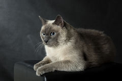 暹罗猫 图库摄影