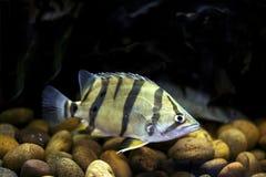 暹罗老虎鱼 库存图片