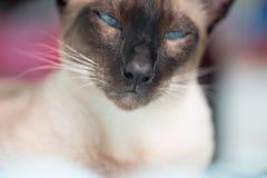 暹罗语与蓝眼睛 免版税库存照片