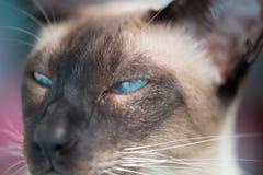 暹罗语与蓝眼睛 图库摄影