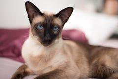 暹罗语与蓝眼睛 免版税库存图片