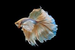 暹罗语战斗的鱼 免版税库存照片