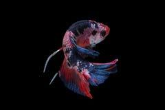 暹罗语战斗的鱼 图库摄影
