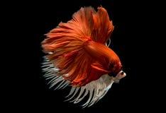 暹罗语战斗的鱼 免版税图库摄影