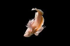 暹罗语战斗的鱼 库存照片