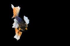 暹罗语战斗的鱼 库存图片