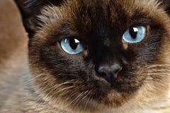 暹罗语猫的特写镜头 免版税图库摄影