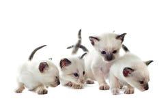 暹罗语的小猫 库存图片