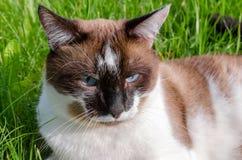 暹罗语的猫户外 免版税库存照片