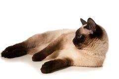 暹罗语的猫 免版税图库摄影