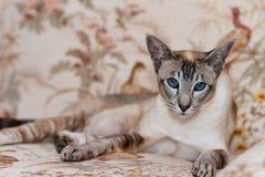 暹罗语的猫 免版税库存图片