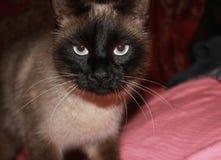 暹罗语的猫 图库摄影