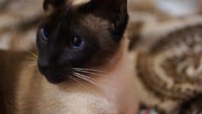 暹罗语的猫 影视素材