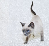 暹罗语美丽的小猫 免版税库存照片