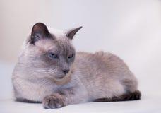 暹罗语蓝色猫的点 免版税库存图片