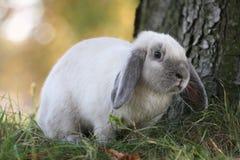 暹罗语蓝色的兔子 图库摄影