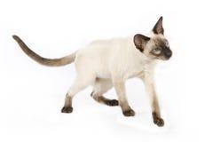 暹罗语逗人喜爱的小猫 免版税库存照片