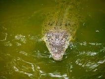 暹罗鳄鱼在池塘 库存图片