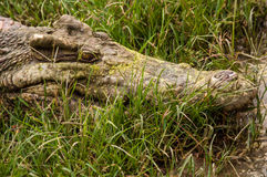 暹罗鳄鱼 免版税库存图片