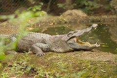 暹罗鳄鱼 图库摄影