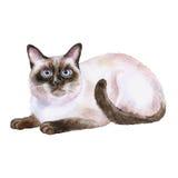 暹罗黑白短发猫水彩画象在白色背景的 手拉的家庭宠物 库存图片