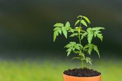 年轻暹罗neem新芽种子 免版税图库摄影
