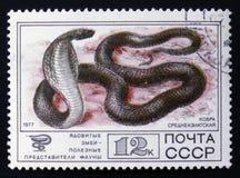 曲折前进眼镜蛇oxiana,眼镜蛇,大约1977年 库存照片