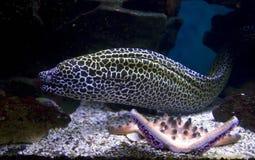 曲折前进铁丝网,暴牙鱼食肉动物的热带珊瑚礁积极的威胁 免版税图库摄影