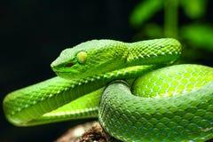 曲折前进,绿色树蛇蝎喀麦隆高地坑蛇蝎Trimeresurus nebularis 库存图片
