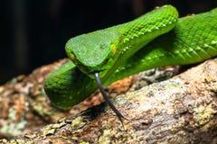 曲折前进,绿色树蛇蝎喀麦隆高地坑蛇蝎Trimeresurus nebularis 免版税图库摄影