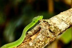 曲折前进,绿色树蛇蝎喀麦隆高地坑蛇蝎Trimeresurus nebularis 库存照片