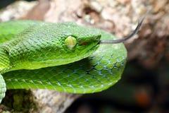 曲折前进,绿色树蛇蝎喀麦隆高地坑蛇蝎Trimeresurus nebularis 免版税库存图片
